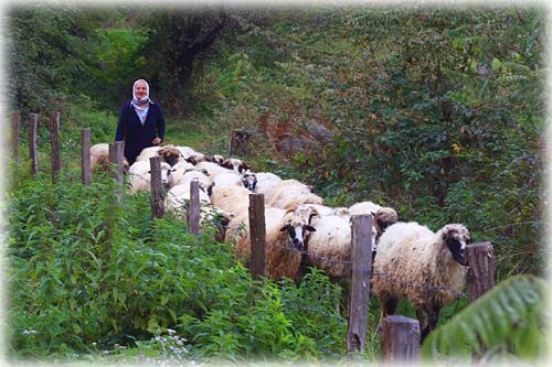 Woman tending sheep